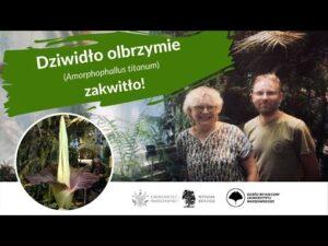 Read more about the article Dziwidło olbrzymie (Amorphophallus titanum) zakwitło w Ogrodzie Botanicznym UW!