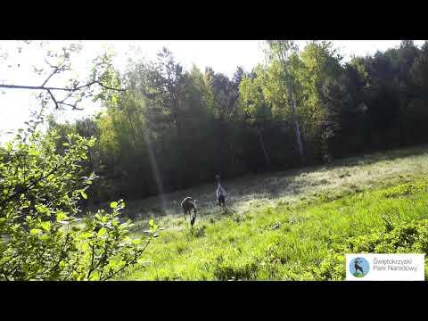 Żurawie w Świętokrzyskim Parku Narodowym