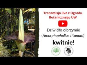 Read more about the article Dziwidło olbrzymie – transmisja LIVE z Ogrodu Botanicznego