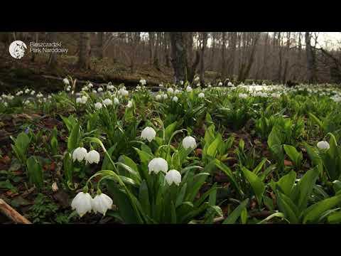 Śnieżyca wiosenna (Leucojum vernum) w olszynce karpackiej