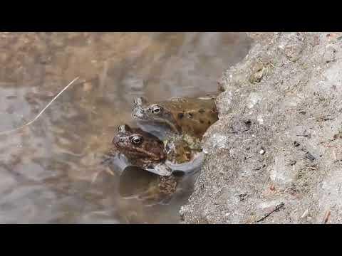 #tatryodręki – Żaba trawna