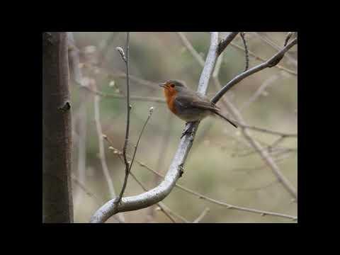 Dialekty Ptaków